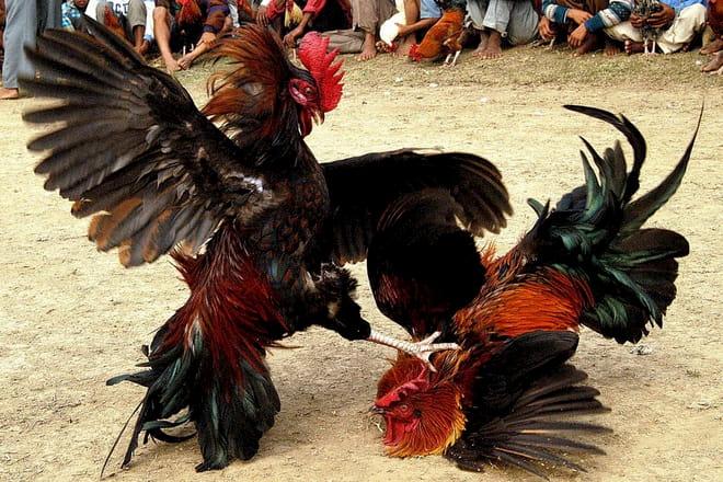 Đá gà Thomo Campuchia