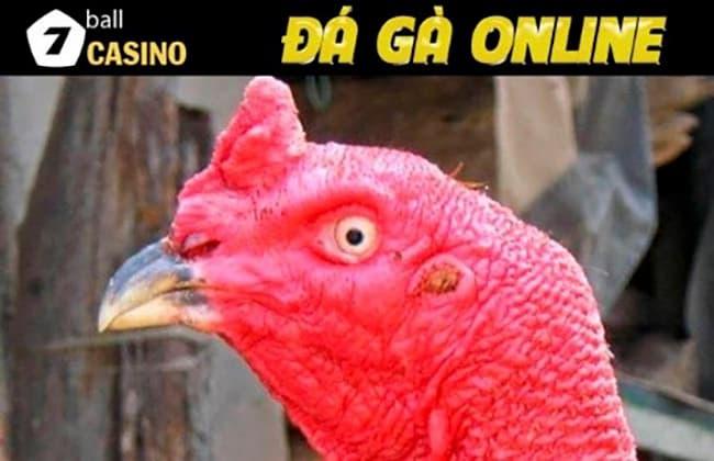 Cách xem tướng gà chọi dựa vào xem đầu gà